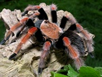 Brachypelma boehmei